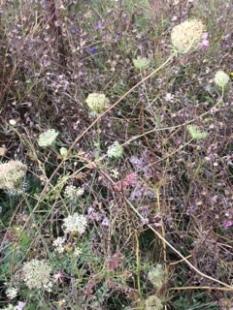 Wild flowers, Gladstone Park NW10